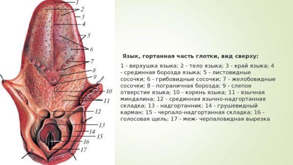 Язык, гортанная часть глотки, вид сверху