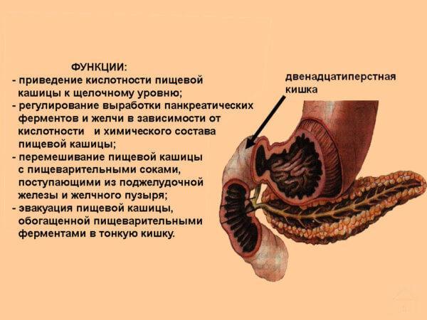 анатомия желудка и 12 перстной кишки