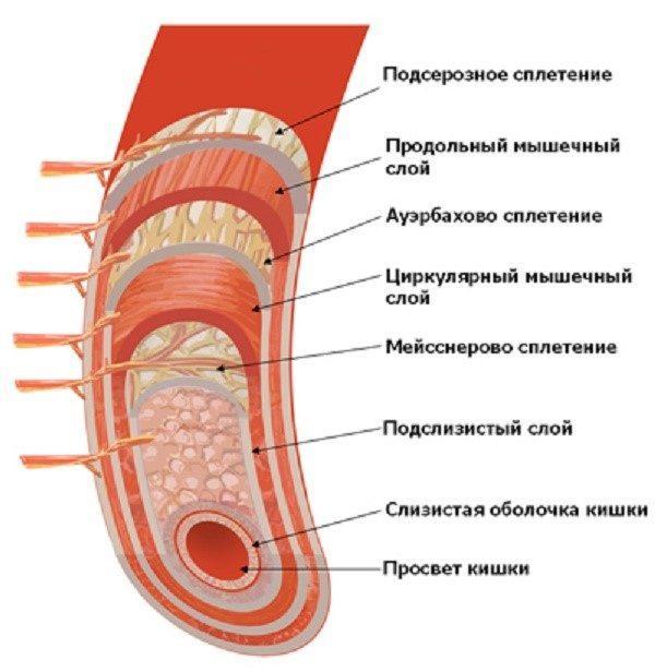 Слои кишечника