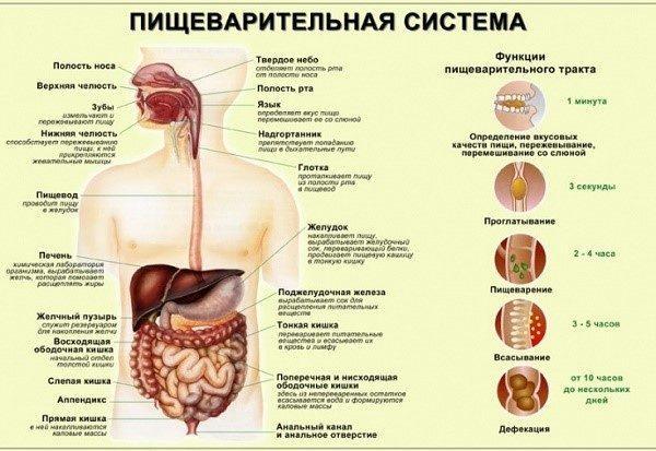 Пищеварительная система и сроки переработки пищи каждым отсеком ЖКТ