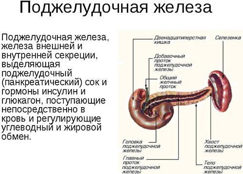 Поджелудочная железа – орган, который очень важен в работе всего организма