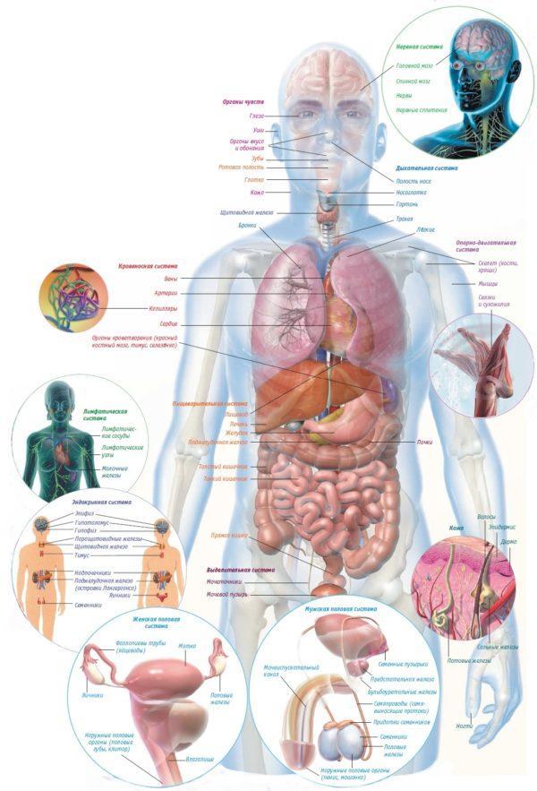 Правильное расположение органов, но иногда они могут располагаться зеркально