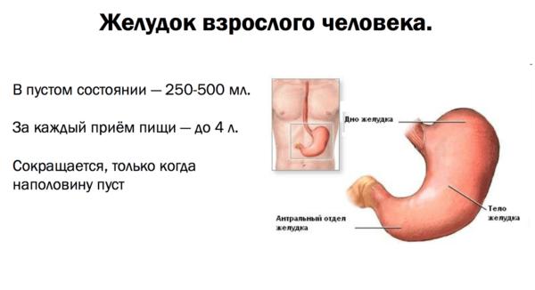 Сколько пищи вмещает в себя желудок