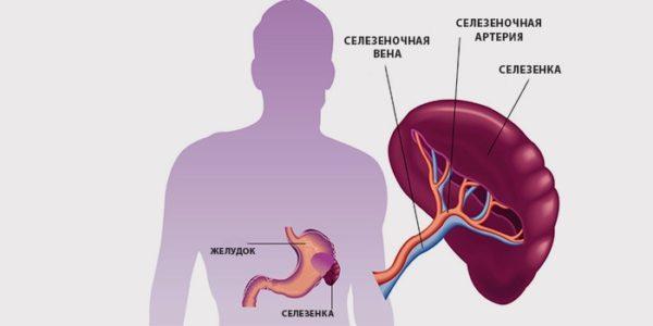 Селезенка имеет удлиненную форму, располагается позади желудка и отвечает за восстановление баланса крови