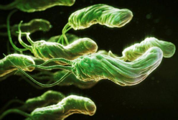 Спиралевидная форма и специальные жгутики обеспечивают бактерии способность легко перемещаться в пищевом тракте человека и углубляться в слизистый слой