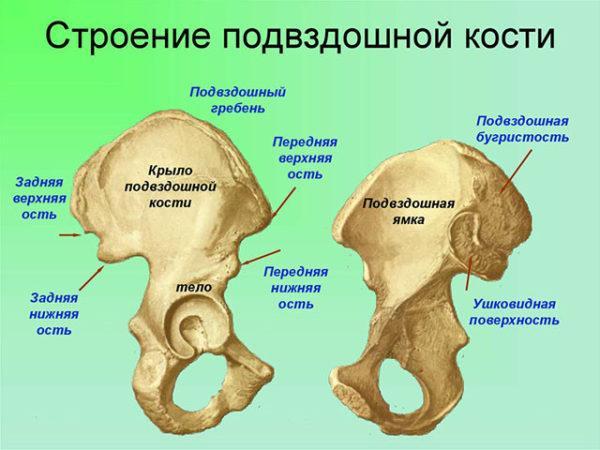 Строение подвздошной кости