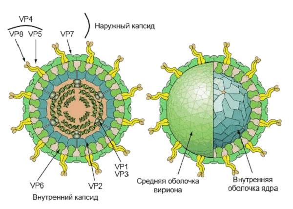 Строение ротавируса