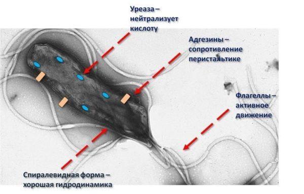 Вещества, которые выделяет бактерия, позволяют ей противостоять иммунной защите организма и агрессивной среде желудка