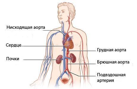 расположение брюшной аорты