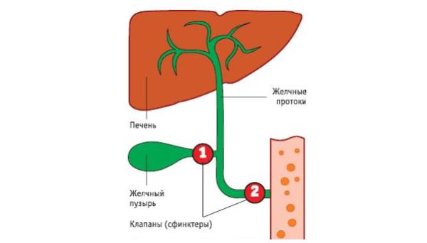 Нарушение двигательных функций желчных протоков возникает в результате одновременного замыкания мышечных сфинктеров