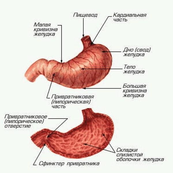 Анатомическое строение желудка: внешнее и на продольном срезе