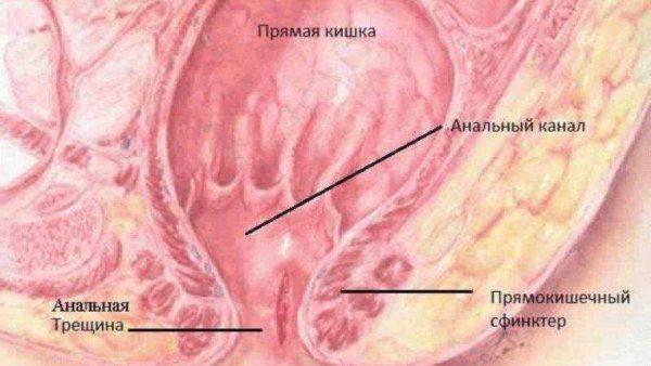 Гистологический рисунок и пояснение расположения ануса