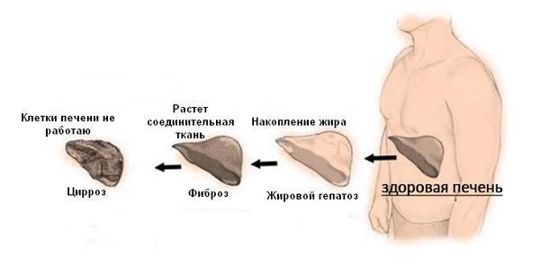 Развитие паренхимы печени у человека