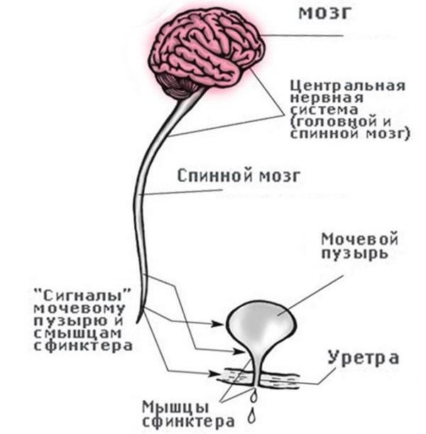 Передача сигнала от мозга к мочевому пузырю о мочеиспускании