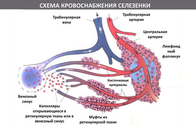 Система артерий, снабжающих селезенку кровью, сложная и разветвленная